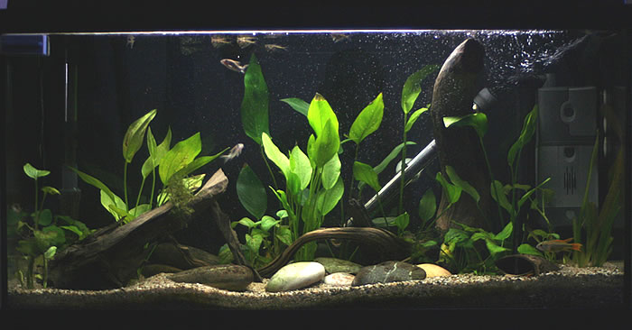 how to set up a pleco fry tank