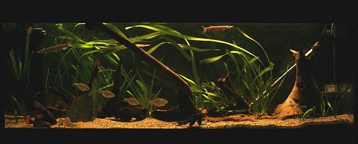 Piranha my own aquariums for Piranha fish tank