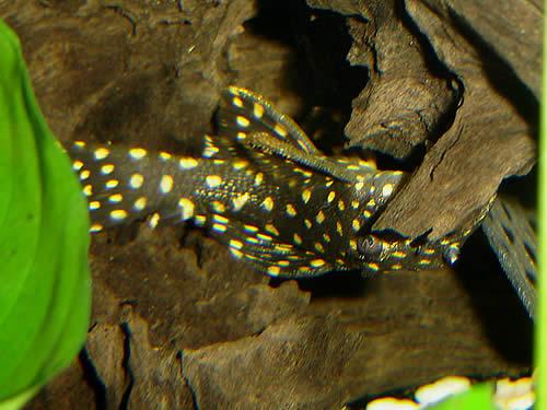 Piranha Info Com 169 Galaxy Pleco