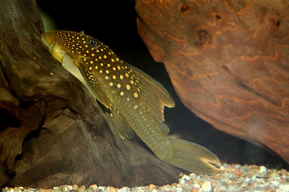 "Green Phantom Pleco ""Hi-Fin"""