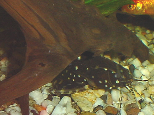 Spotted Raphael Catfish Spotted raphael catfish in his