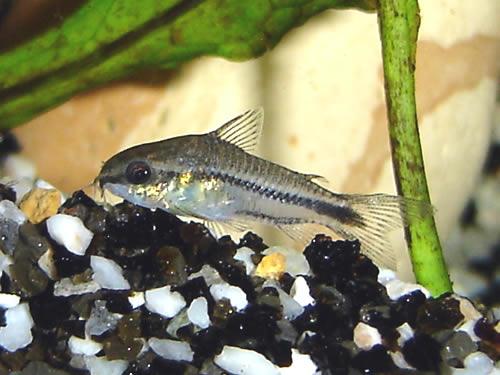 Pygmy Cory Pygmy corydoras