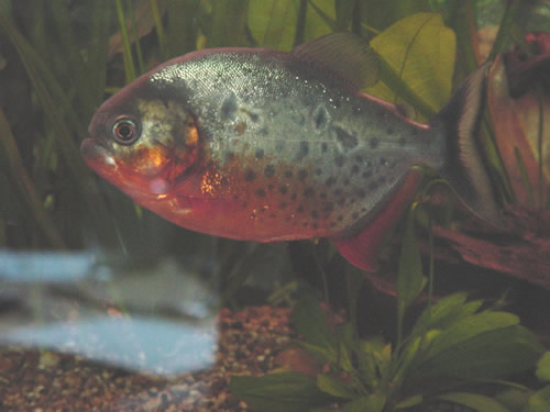 Burnmarks on a Piranha