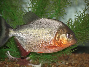 Sub-adult redbellied piranha