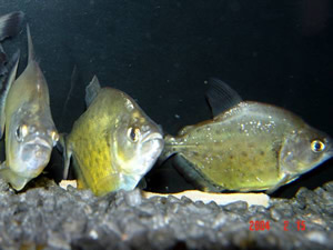 Small group of subadult S. maculatus