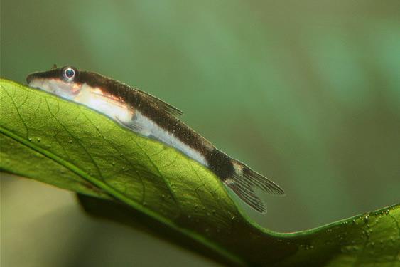 Dwarf Suckermouth Catfish - Otocinclus
