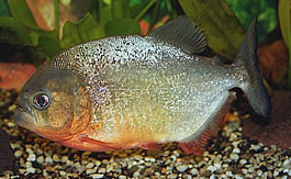 Sexually mature Redbellied Piranha (4,5 years old)