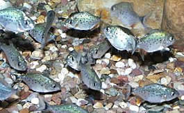 Juvenile Redbellied Piranha's (1 month old)