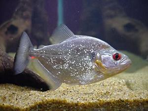 Redeye Piranha Serrasalmus rhombeus DSC09256 | Mikolji