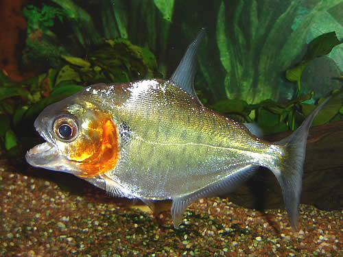 Best Food For Piranha Growth